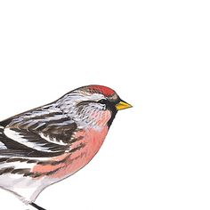 Common Redpoll, male. Painted and © David Sibley