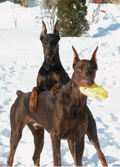 Who us?...did what? #Doberman