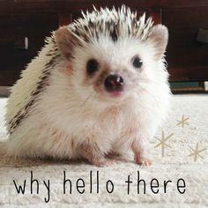 #hedgehog #africanpygmy