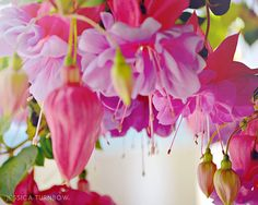 Fuschia Hanging Flowers Garden Photography  8x10 by PastelFables, $20.00