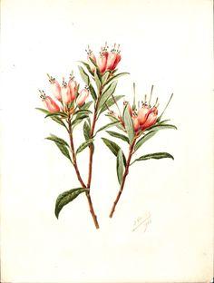 Rhododendron spinuliforum - n°17 du 14 septembre 1910 - J. Guillot