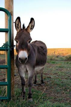Sweet donkey looking a little sad...