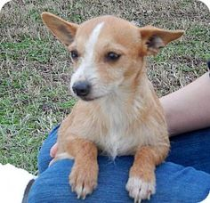 Hagerstown, MD - Parson Russell Terrier/Chihuahua Mix. Meet Miss Minnie B, a dog for adoption. http://www.adoptapet.com/pet/14628745-hagerstown-maryland-parson-russell-terrier-mix