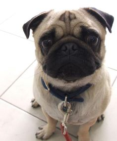 here are some adorable mug shots of adorable pugs. we accept photos of your pugs. pugs in costumes. pugs in cartoon. pugs in videos. pugs in love. mug pug. I Love Dogs, Puppy Love, Cute Dogs, Pug Life, Animals And Pets, Cute Animals, Pugs And Kisses, Baby Pugs, Pug Puppies