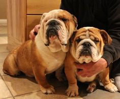 English Bulldogs- Yea, we are talking about getting Rooney a brother!.....