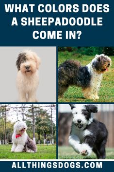 There are three variations in Sheepadoodle colors, Black and White, All Black and Red and White. However, due to her parents both carrying the D-Locus gene (Dilute Coat Color), this often results in their coats fading to an old english sheepdog gray. Read on for more information on their coats.  #sheepadoodle #sheepadoodlecolors #sheepdogpoodlemix Black Dogs, White Dogs, Red And White, Black And Grey, Gray, Old English Sheepdog, Poodle Mix, What Is Like, Hunting
