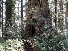 Opera Singing Redwood