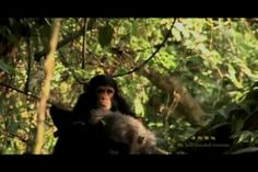 Chimpanzee Mother & Child by the Jane Goodall Institute. A look at Fifi, a Gombe chimpanzee, and her relationship with her offspring.