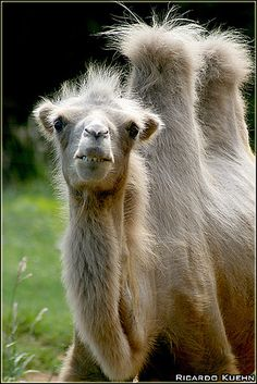 soft color two humped camel.the comfortable kind to ride luxury model Nature Animals, Animals And Pets, Baby Animals, Funny Animals, Cute Animals, Desert Animals, Alpacas, Mundo Animal, My Animal