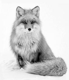 b fox