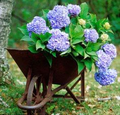 hydrangea in old rusty wheelbarrow.