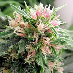 Bud of the day: Tangerine Bud. More