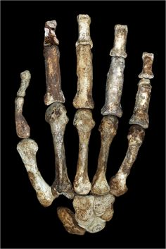 Handier than Homo habilis? Versatile hand of Australopithecus sediba makes a better candidate for an early tool-making hominin Homo Habilis, Theory Of Evolution, Human Evolution, Hand Bone, Anthropologie, Science Magazine, Early Humans, Thing 1, Ancient Civilizations
