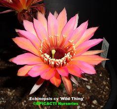 Echinopsiss hybrid 'Wild Thing' (Mex 415-5) buy it @ Epicacti.com