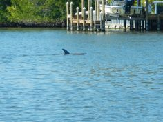 Today's dolphin escort.  He swam around us all the way back to our launch point.  A great way to see our natural area