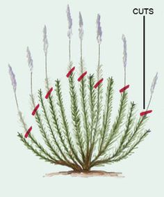 Pruning Lavender; Don't cut plants like lavender to the ground, and don't touch them in fall or winter.