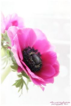 anemones what I'm gonna use for my bridal bouquet. With white and light pink too.