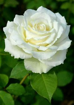 70 Ideas Flowers Beautiful Rose Floral For 2020 Beautiful Rose Flowers, Exotic Flowers, Amazing Flowers, Pretty Flowers, Beautiful Gardens, White Flowers, Most Popular Flowers, Rosa Rose, Flower Pictures