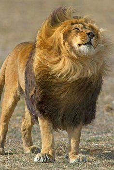 """awesome Lion: """"I hope that lovely Lioness over there, thinks I'm handsome!&quo..."""