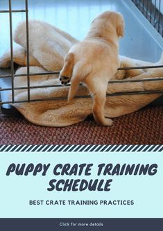Puppy Crate Training Schedule - Full Guide and Best Crate Practices Puppies often have the tendency to become hyperactive and go on a rampage in the house. There is also the annoying pooping and urina Puppy Training Tips, Training Your Dog, Puppy Crate Training Schedule, Kennel Training A Puppy, Crate Training Puppies, Clicker Training Puppy, Goldendoodle Training, Standard Goldendoodle, Goldendoodle Grooming