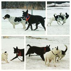 Lennie, Maggie & Elisabeth in the midst of a Badass girl play session. Elisabeth (white with black spots) is available for adoption through @badassbrooklyn. #evasplaypupsPA #dogs #dogcamp #doggyvacays #doggievacays #dogboarding #dogsocialization #prettygirls #sillypooches #playtime #letsgetreadytorumble #dogsinnature #runfree #runlikethewind #blackandwhites #labsofinstagram #houndsofinstagram #pitbullsofinstagram #muttigrees #dogsofinstagram #instapups #badassbk #adoptable #adoptdontshop…
