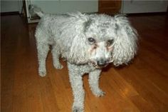 Curly - STILL MISSING!!! is an adoptable Poodle Dog in Union Grove, WI. LOST DOG. REWARD FOR SAFE RETURN. CURLY IS STILL MISSING AS OF MARCH 6, 2011. THANK YOU FOR KEEPING YOUR EYES AND EARS OPEN FOR ...