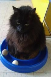 Buck is an #adoptable Persian Cat in #Tuscaloosa #ALABAMA - The Humane Society of West Alabamas cat adoption center at 1515 Veterans Memorial Pkwy is open Saturdays from 10:00 a.m. until 2:00 p.m.� Appointme...