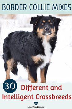 So you want a Border Collie cross but you're not too sure which one, then you have come to the right place! In this guide we'll run you through 30 of the most adorable Collie combos around and discover whether one of them is the ideal pooch for you! Types Of Dogs Breeds, All Types Of Dogs, Dog Breeds, R Dogs, Dogs And Puppies, Dog Information, Border Collie Mix, Dog Hacks, Dog Crate