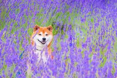Hachi the Shiba Inu loves playing in flowers