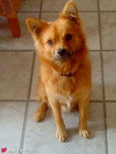 Gismo / Spitz-Chihuahua