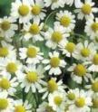 Heirloom Herb Seeds