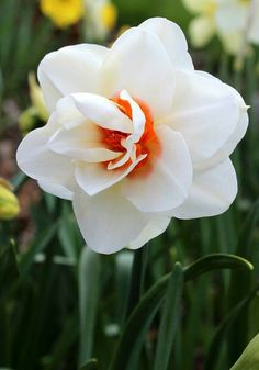 "Double Daffodil - ""Anne Frank""  Beautiful"