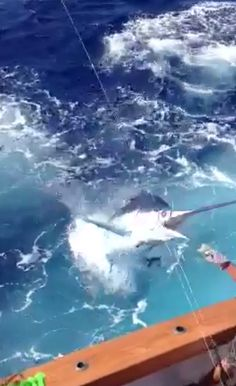 350-Pound Marlin Flies Into Fishing Boat
