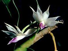 Amethyst-colored Dendrobium
