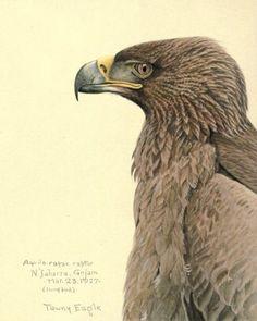 Fuertes, Louis Agassiz (1874-1927) - Album of Abyssinian Birds & Mammals 1930 (African Tawny Eagle) - 8-32. #vintage, animals, #bird