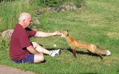 This wild fox wants an egg badly enough to take it from a stranger's hand. Even foxes know breakfast is the most important meal!