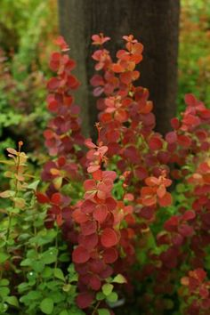 We saw this plant in July and it had brilliant orange red leaves. Orange Rocket isnt for the faint of heart. Leaf Flowers, White Flowers, Rocket Plant, Orange Rocket Barberry, Japanese Barberry, Backyard Plants, Variegated Plants, Foliage Plants, Garden Trees