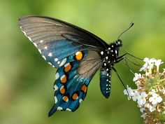 Pipevine Swallowtail(Battus philenor ). The butterfly ranges from across USA to Mexico, Islas Marías and onto Guatemala and Costa Rica. It rarely strays into southern Ontario. In the United States, the butterfly is found in New England down to Florida west to Nebraska, Texas, New Mexico, Arizona, California, and Oregon.