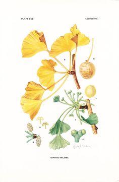 1926 Botany Print - Ginkgo Biloba - Vintage Antique Flower Art Illustration Book Plate for Framing