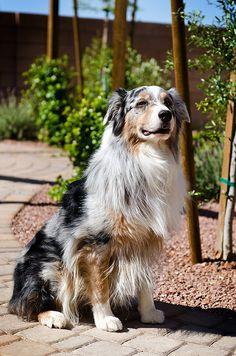 Anadee Aussies : anadee, aussies, Merle, Australian, Shepherd, Ideas, Shepherd,, Aussie, Dogs,