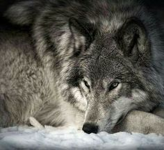 A gallery of timber wolf images and Arctic wolf images, many published in Canadian Geographic. Wolf prints available as fine art prints, canvas and metal Wolf Images, Wolf Photos, Wolf Pictures, Beautiful Creatures, Animals Beautiful, Cute Animals, Wild Animals, Coyotes, Wolf Photography