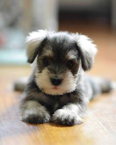 Schnauzer pupppyyyyy!!!! I wonder if this is what Winnie looked like?
