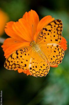 #Butterfly | #Butterflies | #Moths Common Leopard by leocub