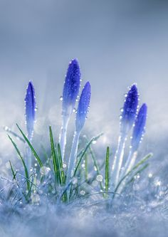 spring flowers fight their way up through the snow (beautiful flowers garden god) Flowers Nature, Exotic Flowers, Amazing Flowers, Spring Flowers, Blue Flowers, Beautiful Flowers, Beautiful Beautiful, Orquideas Cymbidium, Beautiful Nature Wallpaper