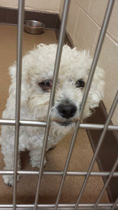 At Apple Valley shelter, CA as a stray. Is this your missing pup? Baxter ID # 133826 is a male poodle mix. He weighs 11 lbs and it looks like his right eye has an infection or other medical issue. Available 06/04 to the general public. Please share for pledges / rescue / foster.   Adopt a Pet link http://www.adoptapet.com/pet/10877715-apple-valley-california-poodle-standard-mix  Apple Valley Animal Services 22131 Powhatan Rd Apple Valley CA ( 760 ) 240 7000 ext ...