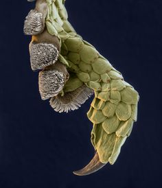 Tip of a gecko toe under electron microscope. The modified skin that look like hairs, actually creates static electricity, that allows the gecko to stick to things. Electron Microscope Images, Microscope Pictures, Foto Macro, Micro Photography, Nature Photography, Microscopic Photography, Microscopic Images, Macro And Micro, Scary Monsters