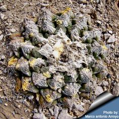"""Ariocarpus fissuratus The mimetic colouring of a plant in its natural habitat in Cuatro Cienegas, Coahuila -  Commonly called """"living rocks,"""" these cacti usually blend in well with the terrain around them.  Sought by collectors, they can take up to 50 years to reach their full growth of 15cm in diameter."""