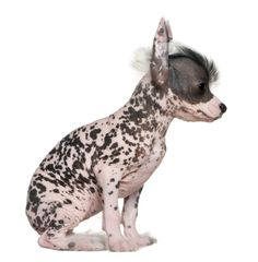 How can a 6-week-old hairless Chinese crested puppy look so tough? It's the built-in mohawk.