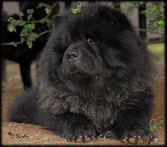 Famous Athos Chen Zuo de Zheng He at Ciao (Imp France) Fluffy Dogs, Fluffy Animals, Cute Animals, Black Chow Chow, Chow Chow Dogs, Zheng He, Protective Dogs, Spitz Dogs, Lion Dog