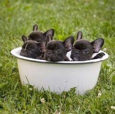 A bucket of Frenchie puppies. Cutest thing ever?